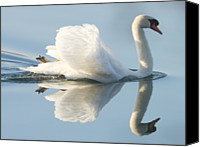 Swan Canvas Prints - Graceful Swan Canvas Print by Andrew Steele
