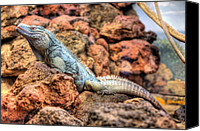 Grand Cayman Canvas Prints - Grand Cayman Blue Iguana Canvas Print by JC Findley