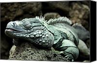 Grand Cayman Canvas Prints - Grand Cayman Iguana - aka - Blue Iguana Canvas Print by Brendan Reals
