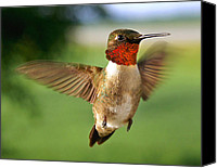 Ruby Throated Canvas Prints - Grand Display - cropped Canvas Print by Bill Pevlor