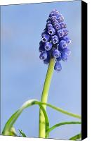 Jd Grimes Canvas Prints - Grape Hyacinth Canvas Print by JD Grimes