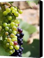 Horticultural Canvas Prints - Grapes Canvas Print by Jane Rix