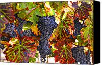 Foodstuff Canvas Prints - Grapes on vine in vineyards Canvas Print by Garry Gay