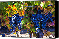Winery Canvas Prints - Grapes ready for harvest Canvas Print by Garry Gay