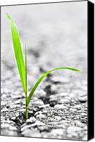 Conceptual Canvas Prints - Grass growing from crack in asphalt Canvas Print by Elena Elisseeva