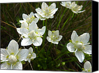 Estephy Sabin Figueroa Photo Canvas Prints - Grass-of-Parnassus Canvas Print by Estephy Sabin Figueroa
