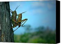 Lifestyle Prints Photo Canvas Prints - Grasshopper Love Canvas Print by Mark Andrew Thomas