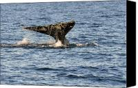 Whale Canvas Prints - Gray Whale Fluke Canvas Print by Alan Lenk