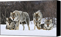 Fn Canvas Prints - Gray Wolf Canis Lupus Group, Norway Canvas Print by Jasper Doest