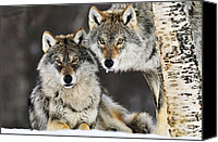 Fn Canvas Prints - Gray Wolf Canis Lupus Pair In The Snow Canvas Print by Jasper Doest