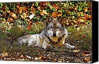 Indiana Autumn Digital Art Canvas Prints - Gray Wolf in Autumn Canvas Print by Sandy Keeton