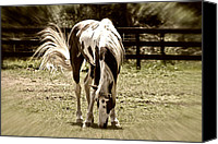 Susan Leggett Canvas Prints - Grazing Stallion Canvas Print by Susan Leggett