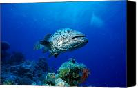 Grouper  Canvas Prints - Great Barrier Reef Canvas Print by Peter Stone - Printscapes
