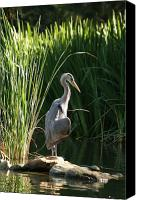 Grasses Canvas Prints - Great Blue Heron Canvas Print by Ellen Henneke