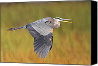 Herons Canvas Prints - Great Blue Heron In Flight Canvas Print by Bruce J Robinson