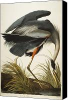 American Drawings Canvas Prints - Great Blue Heron Canvas Print by John James Audubon