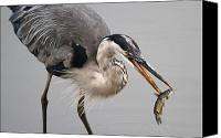 Fish Prints Canvas Prints - Great Blue Heron Canvas Print by Paul Marto