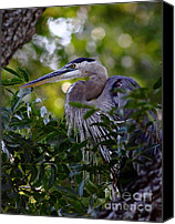 Roost Canvas Prints - Great Blue In A Tree Canvas Print by Robert Frederick