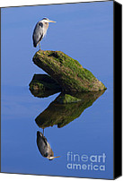 Crane Canvas Prints - Great Blue Reflection Canvas Print by Mike  Dawson