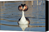 Fn Canvas Prints - Great Crested Grebe Podiceps Cristatus Canvas Print by Danny Ellinger