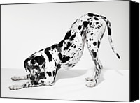 Great Dane Canvas Prints - Great Dane Bending Down Canvas Print by Michael Blann