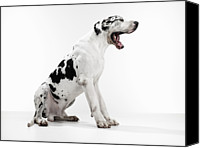 Great Dane Canvas Prints - Great Dane Yawning Canvas Print by Michael Blann