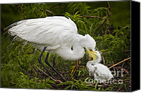 Great Egret Canvas Prints - Great Egret and Chick Canvas Print by Susan Candelario