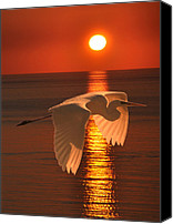 Hera Mixed Media Canvas Prints - Great Egret at sunset Canvas Print by Eric Kempson