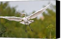 Great Egret Canvas Prints - Great Egret Carrying Stick to Nest Canvas Print by Alan Lenk