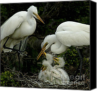 Great Egret Canvas Prints - Great Egret Family 2 Canvas Print by Bob Christopher