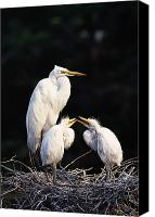 Great Egret Canvas Prints - Great Egret In Nest With Young Canvas Print by Natural Selection David Ponton