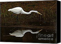 Great Egret Canvas Prints - Great Egret Reflection 2 Canvas Print by Bob Christopher