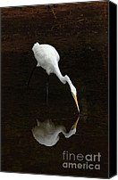 Great Egret Canvas Prints - Great Egret Reflection Canvas Print by Bob Christopher