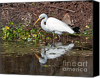 Great Egret Canvas Prints - Great Egret searching for food in the marsh Canvas Print by Louise Heusinkveld
