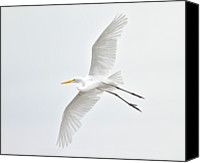 Great Egret Canvas Prints - Great Egret Taking Off Canvas Print by Bmse