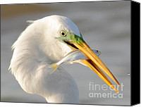 Capture Canvas Prints - Great Egret With A Shad Canvas Print by Robert Frederick