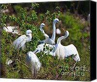 Great Egret Canvas Prints - Great Egrets Courting Canvas Print by Louise Heusinkveld