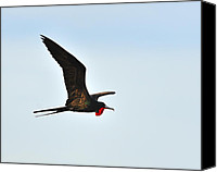Galapagos Islands Canvas Prints - Great Frigatebird Canvas Print by Tony Beck