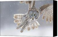 Grey Canvas Prints - Great Grey Owl in Snowstorm Canvas Print by Scott  Linstead