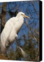 Great Egret Canvas Prints - Great White Egret Canvas Print by Carolyn Marshall