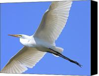 Birds In Flight Canvas Prints - Great White Egret In Flight . 40D6850 Canvas Print by Wingsdomain Art and Photography
