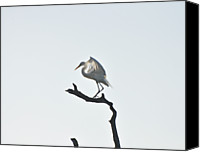 Great Egret Canvas Prints - Great White Egret Canvas Print by Nancybelle Gonzaga Villarroya