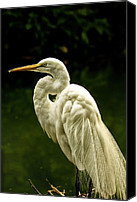 Great Egret Canvas Prints - Great White Egret Pose Canvas Print by Bill Tiepelman