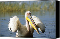 White Pelican Canvas Prints - Great White Pelican Canvas Print by Tony Camacho