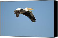 White Pelican Canvas Prints - Great White Pelicans Canvas Print by Photostock-israel