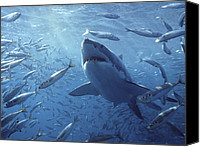 Animal Behaviour Canvas Prints - Great White Shark Carcharodon Canvas Print by Mike Parry