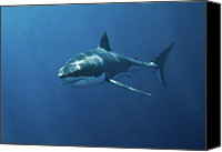 Sea Animals Canvas Prints - Great White Shark Canvas Print by John White Photos