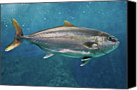 Animals In The Wild Canvas Prints - Greater Amberjack Canvas Print by Stavros Markopoulos