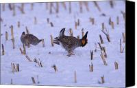 Prairie Photography Canvas Prints - Greater Prairie Chickens In The Snow Canvas Print by Joel Sartore