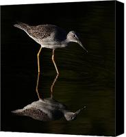 Jim Cumming Canvas Prints - Greater Yellowlegs Canvas Print by Jim Cumming